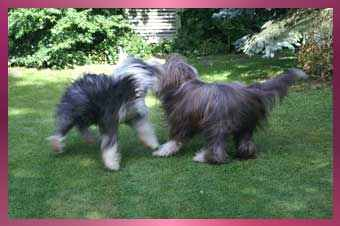 Tanz der Bearded Collies